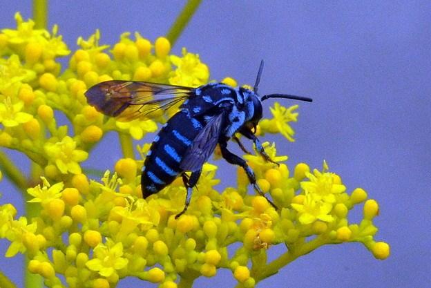 幸せを呼ぶ青いハチの見れる時期や場所はどこ?毒は無く刺す事もない?