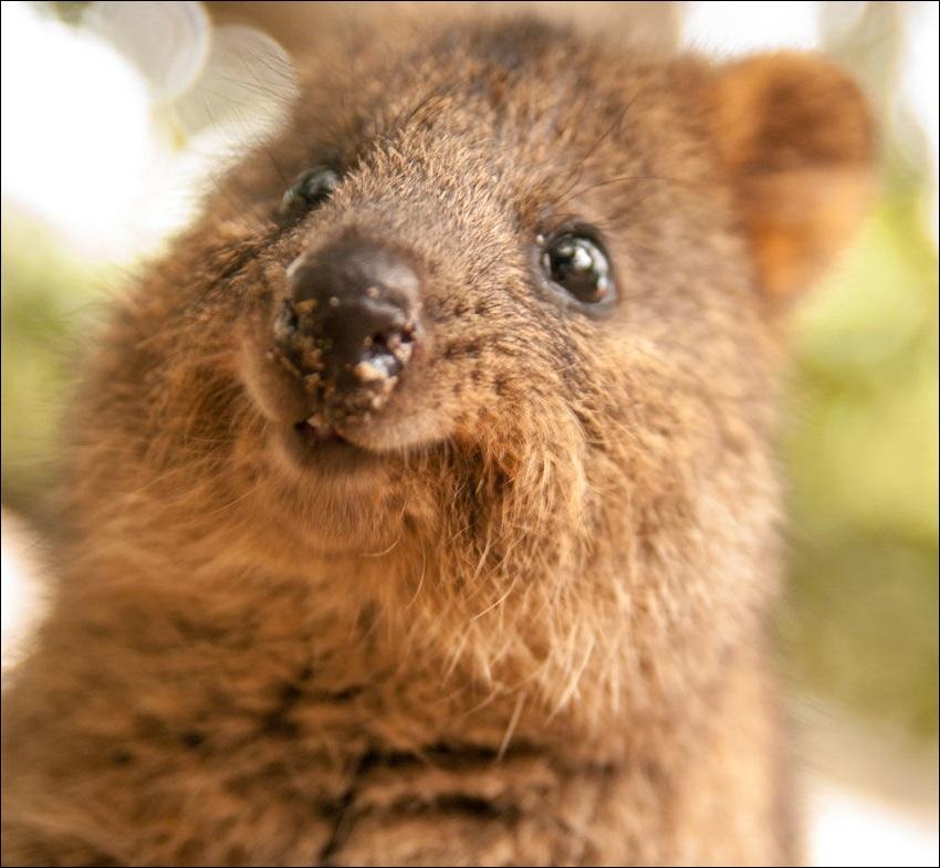 画像》オーストラリアのピカチュウ似クオッカの笑顔!日本の動物園に?